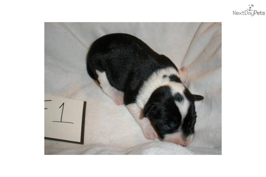 Decker Rat Terrier Puppies: Decker Adcd A Breed