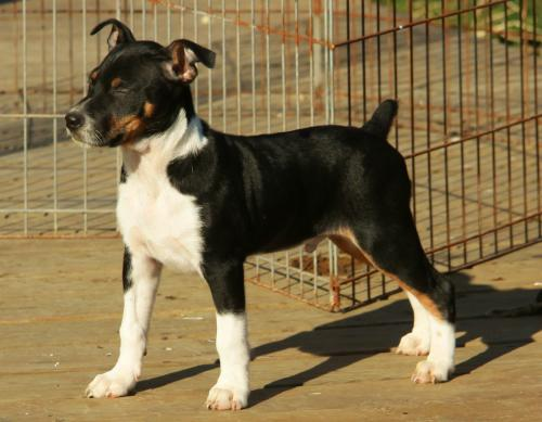 Decker Rat Terrier Dog: Decker Comgktabsmanager Breed