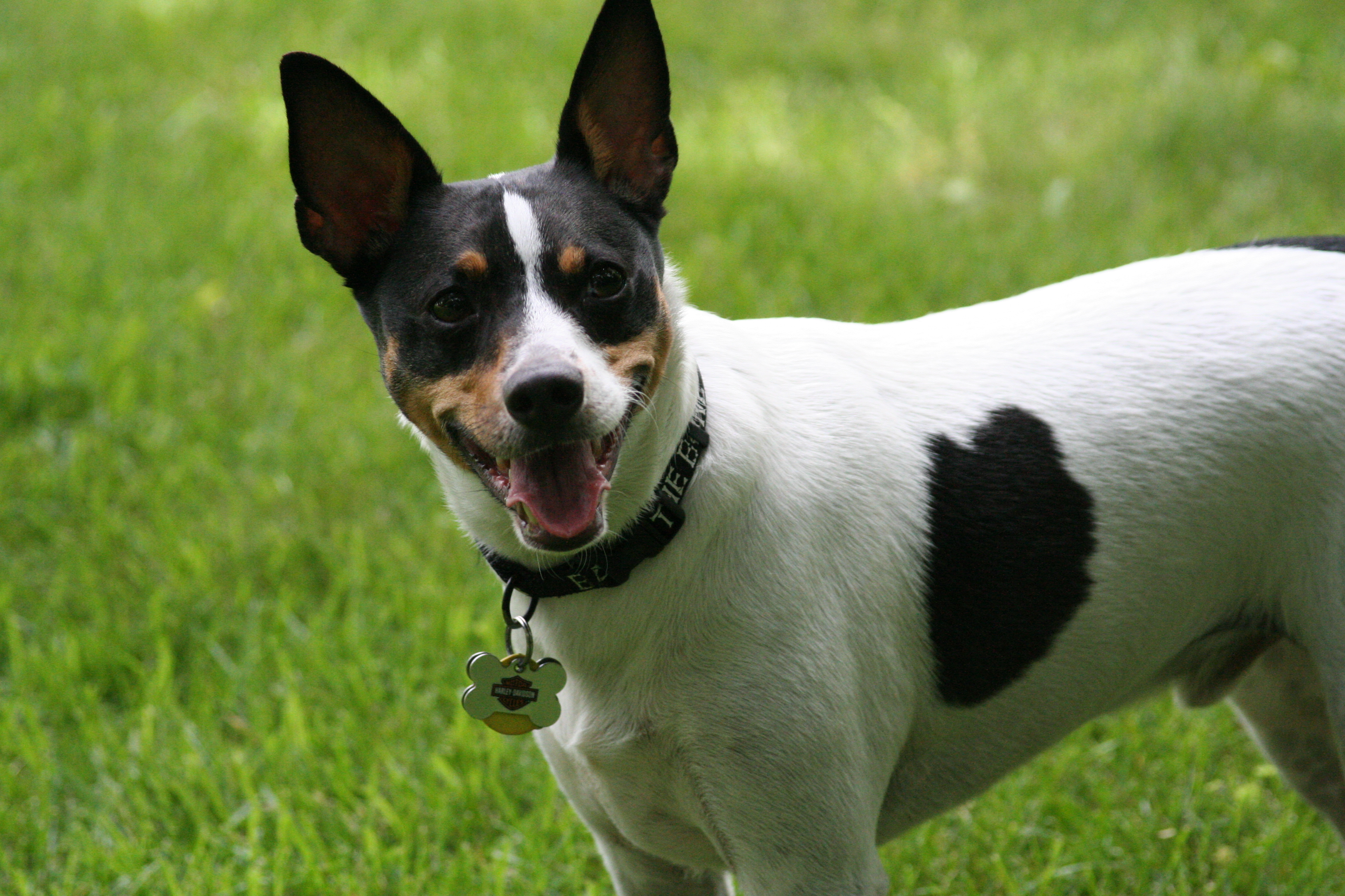 Decker Rat Terrier Dog: Decker Decker Rat Terrier About The Breed