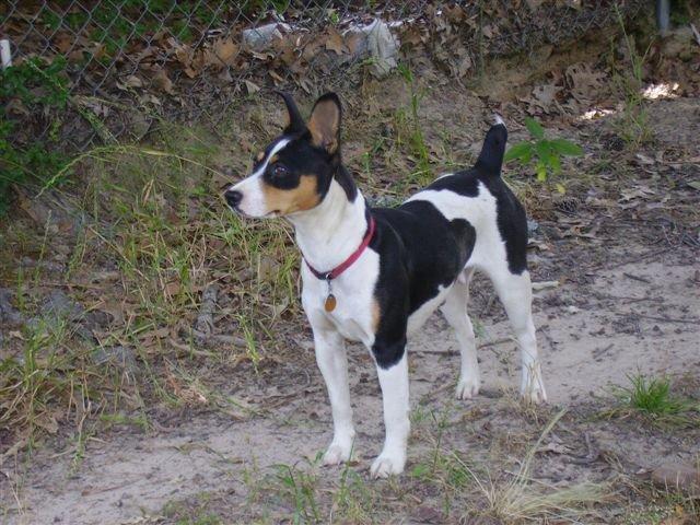 Decker Rat Terrier Puppies: Decker Decker Rat Terrier Breed