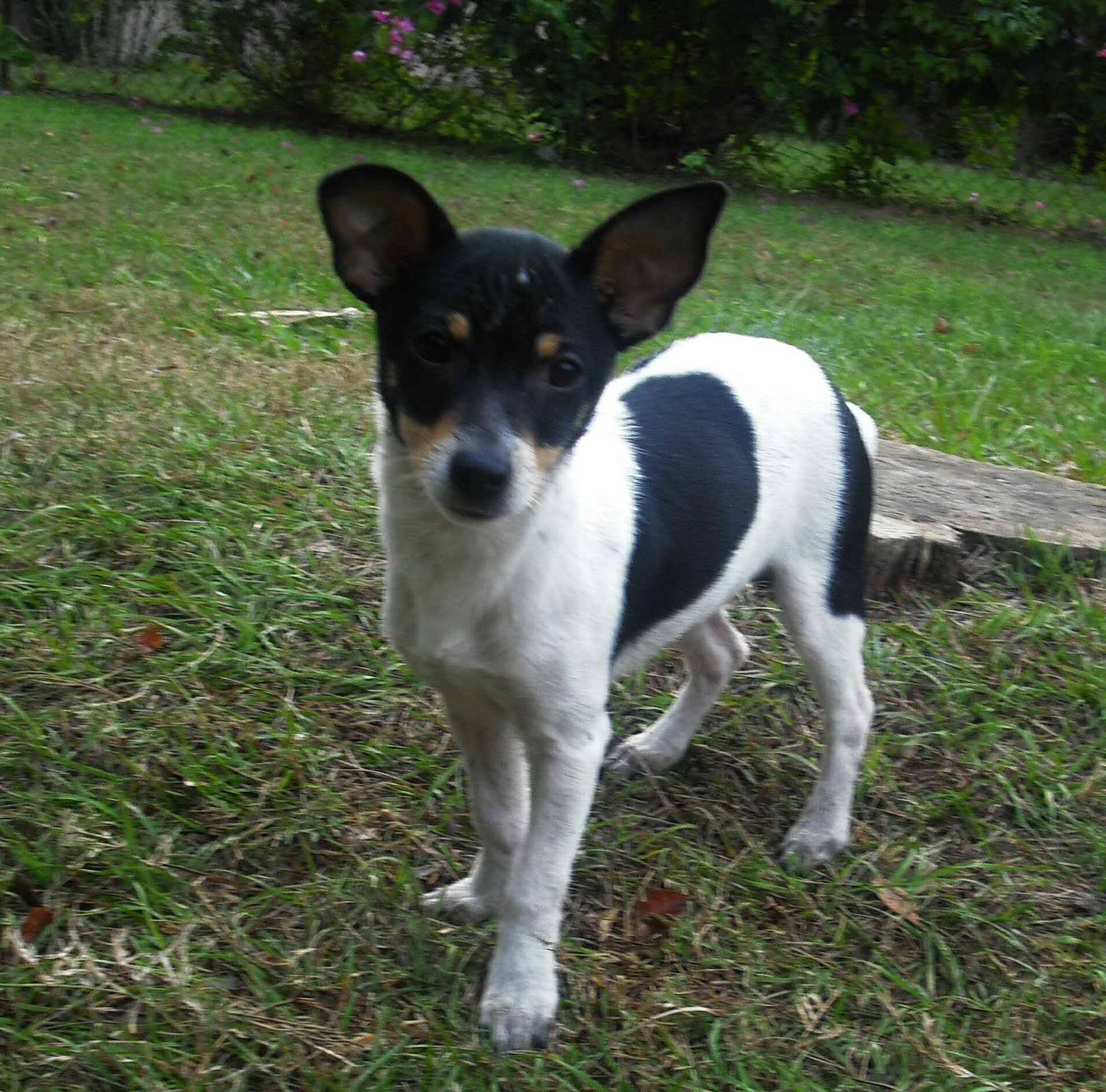 Decker Rat Terrier Puppies: Decker Decker Rat Terrier Florida Breed
