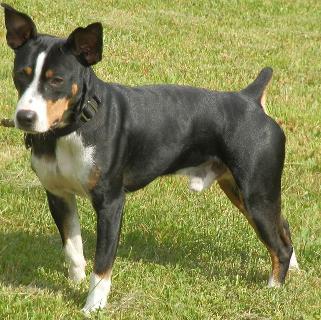 Decker Rat Terrier Dog: Decker Deckerratterrier Breed