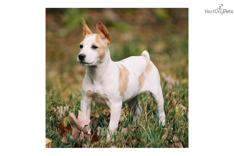 Decker Rat Terrier Puppies: Decker Edec De Breed