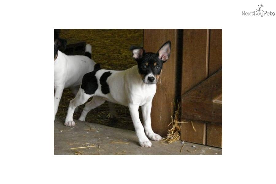 Decker Rat Terrier Dog: Decker Fcec Ec Breed