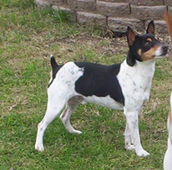 Decker Rat Terrier Dog: Decker Males Breed