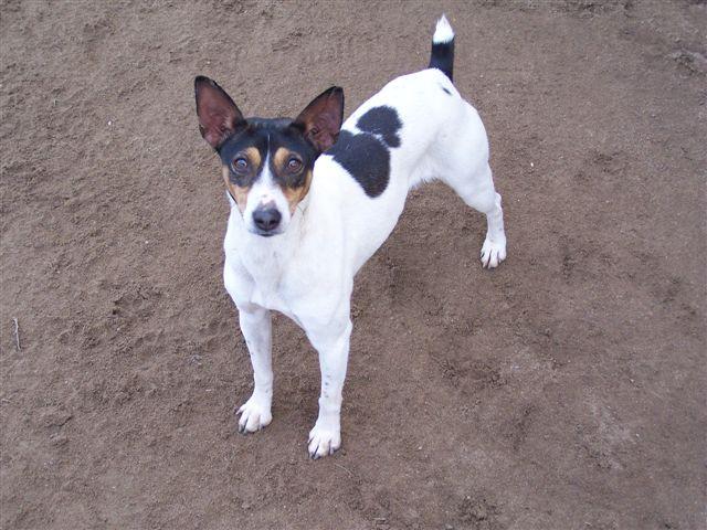 Decker Rat Terrier Dog: Decker Mydeckerdogs Breed