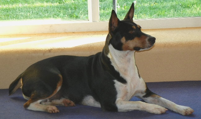 Decker Rat Terrier Dog: Decker Nessa And Her Frustrating Belly Rash Breed