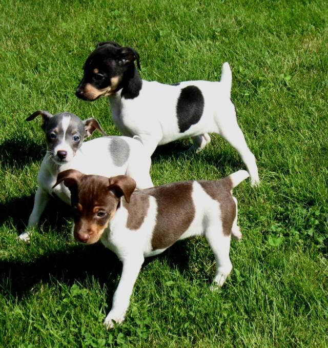 Decker Rat Terrier Puppies: Decker Rat Terrier Breed