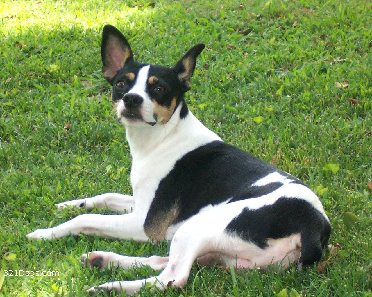 Decker Rat Terrier Dog: Decker Ratterrierdesktop X Breed