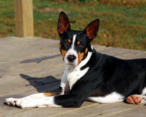 Decker Rat Terrier Puppies: Decker Seegmiller Decker Rat Terriers Breed