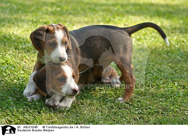 Deutsche Bracke Puppies: Deutsche Ab Breed