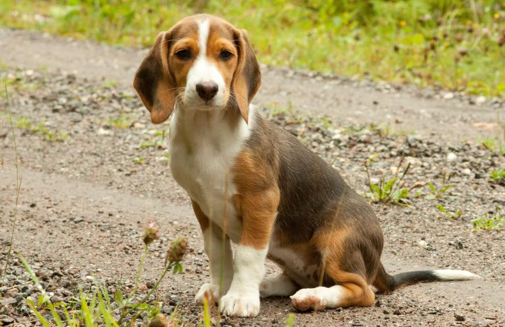 Deutsche Bracke Puppies: Deutsche Alman Tazisi Breed
