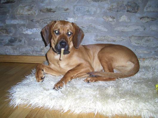 Deutsche Bracke Puppies: Deutsche Bilderbracke Breed