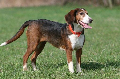 Deutsche Bracke Dog: Deutsche Breed