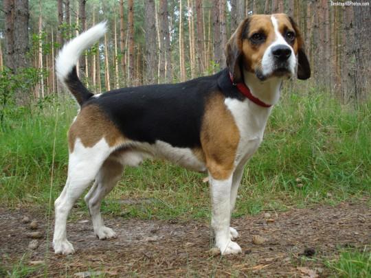 Deutsche Bracke Dog: Deutsche Deutsche Bracke Dog Breed