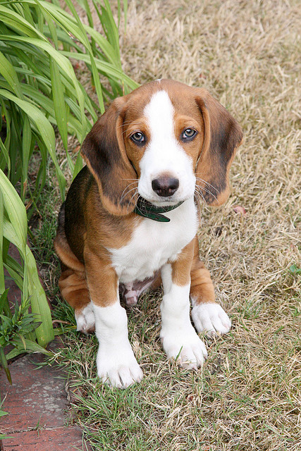 Deutsche Bracke Dog: Deutsche Deutsche Bracke Dog Face Breed