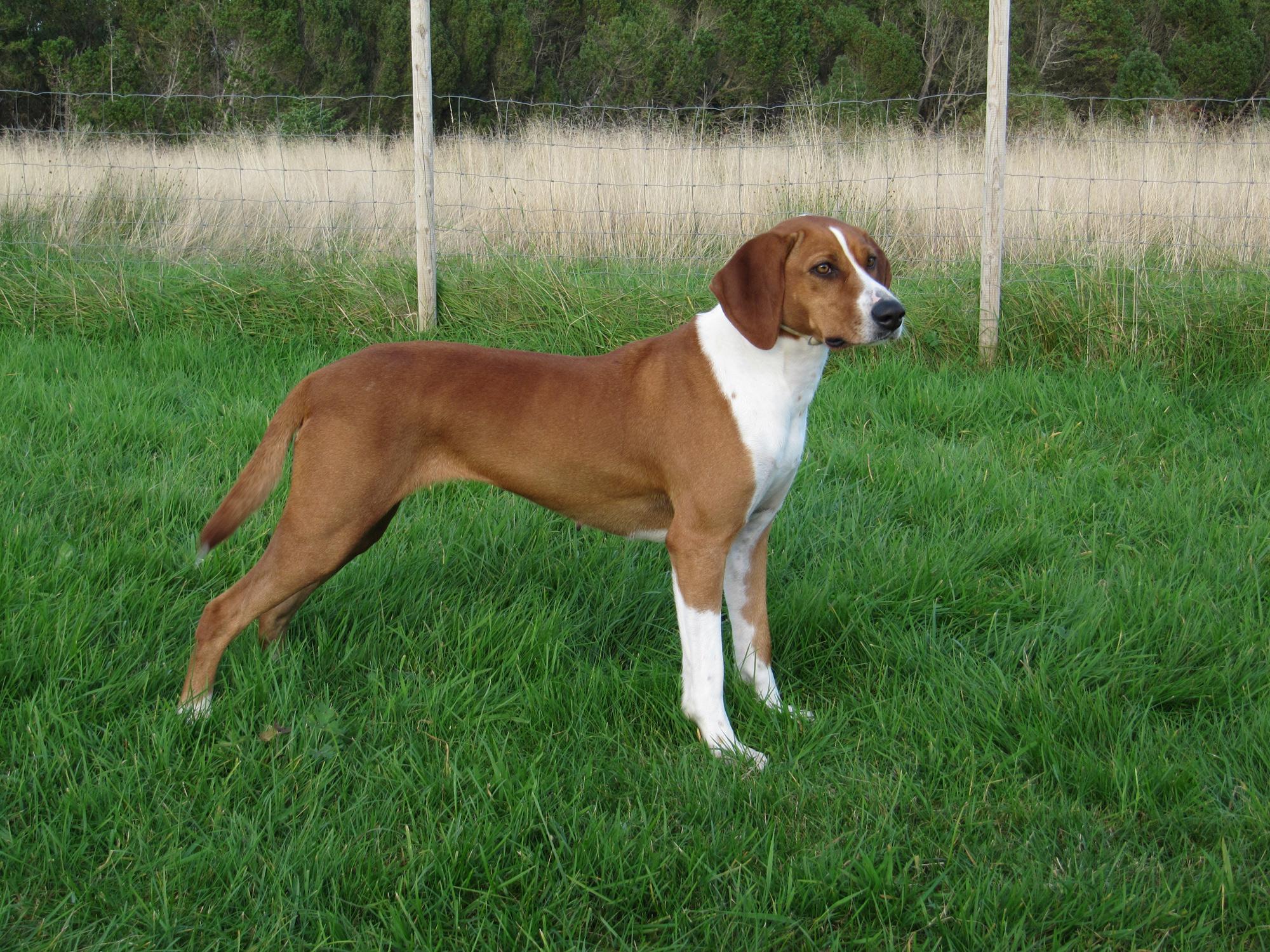 Deutsche Bracke Puppies: Deutsche Deutsche Bracke Dog In The Grass Breed