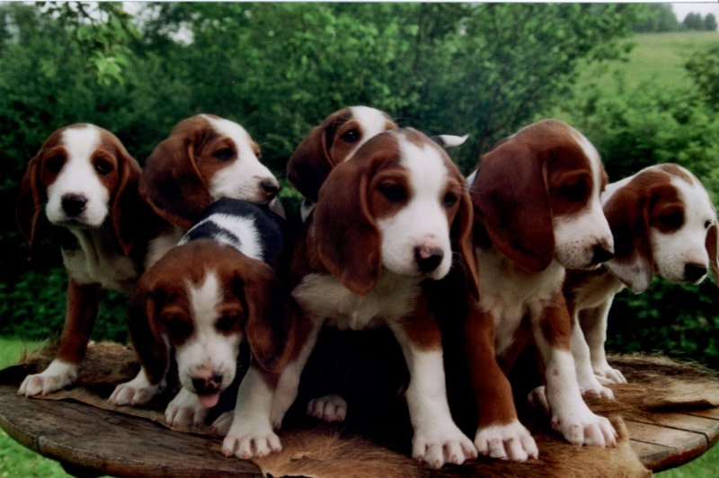 Deutsche Bracke Dog: Deutsche Deutsche Bracke Dog Puppies Breed