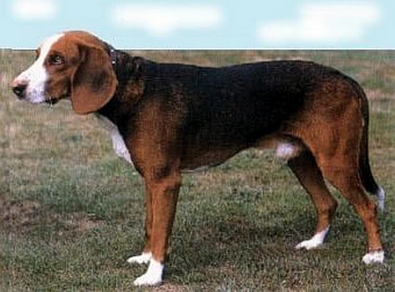 Deutsche Bracke Dog: Deutsche Deutsche Bracke Dog Side View Breed