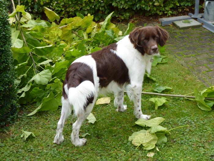Deutsche Bracke Puppies: Deutsche Dogo Guatemalteco Side View And Beautiful Breed