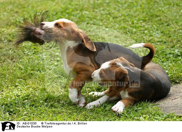Deutsche Bracke Puppies: Deutsche Index Breed