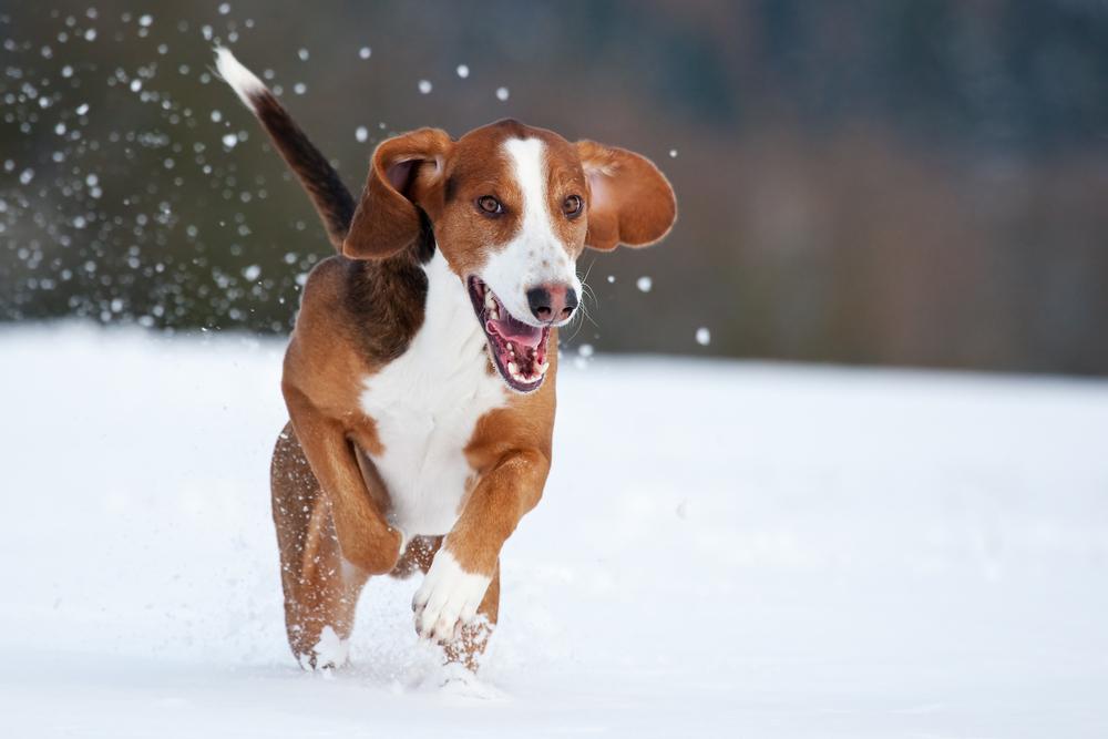 Deutsche Bracke Dog: Deutsche Jumping Deutsche Bracke Dog Breed