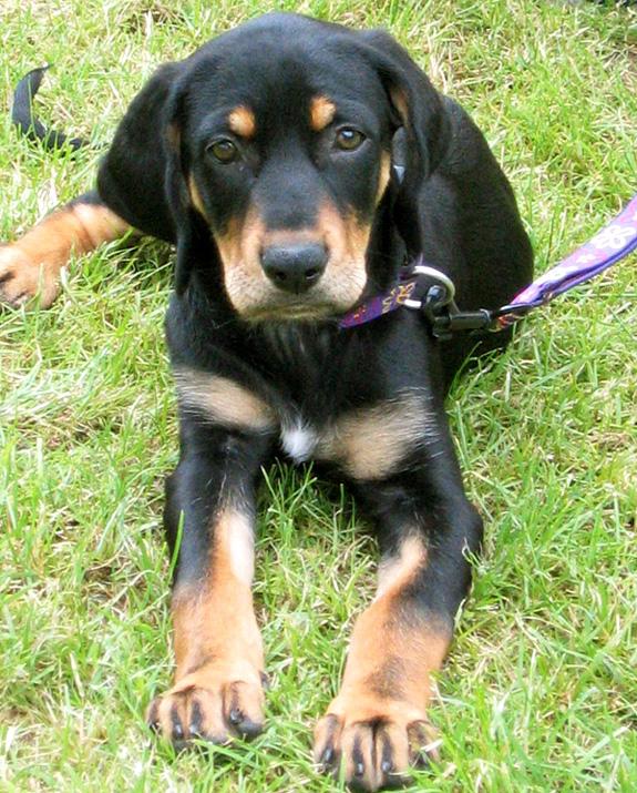 Deutsche Bracke Puppies: Deutsche Porterdelyidts Breed