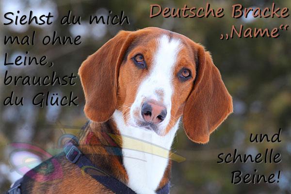 Deutsche Bracke Puppies: Deutsche Pudelpointers Dogs Bogie Breed