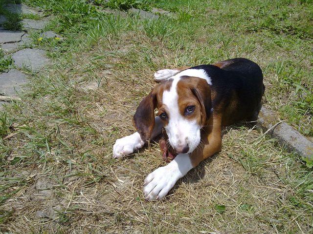 Deutsche Bracke Dog: Deutsche Resting Deutsche Bracke Dog Breed