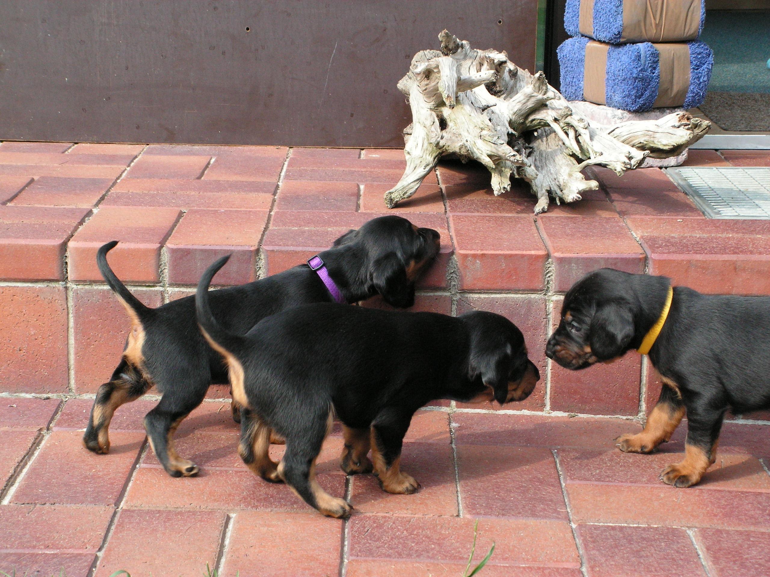 Deutsche Bracke Puppies: Deutsche Slovensky Kopov Puppies Breed