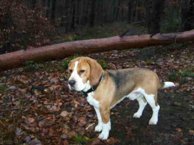 Deutsche Bracke Dog: Deutsche Walking Deutsche Bracke Dog Breed