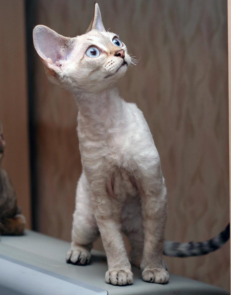 Devon Rex Cat: Devon Breed