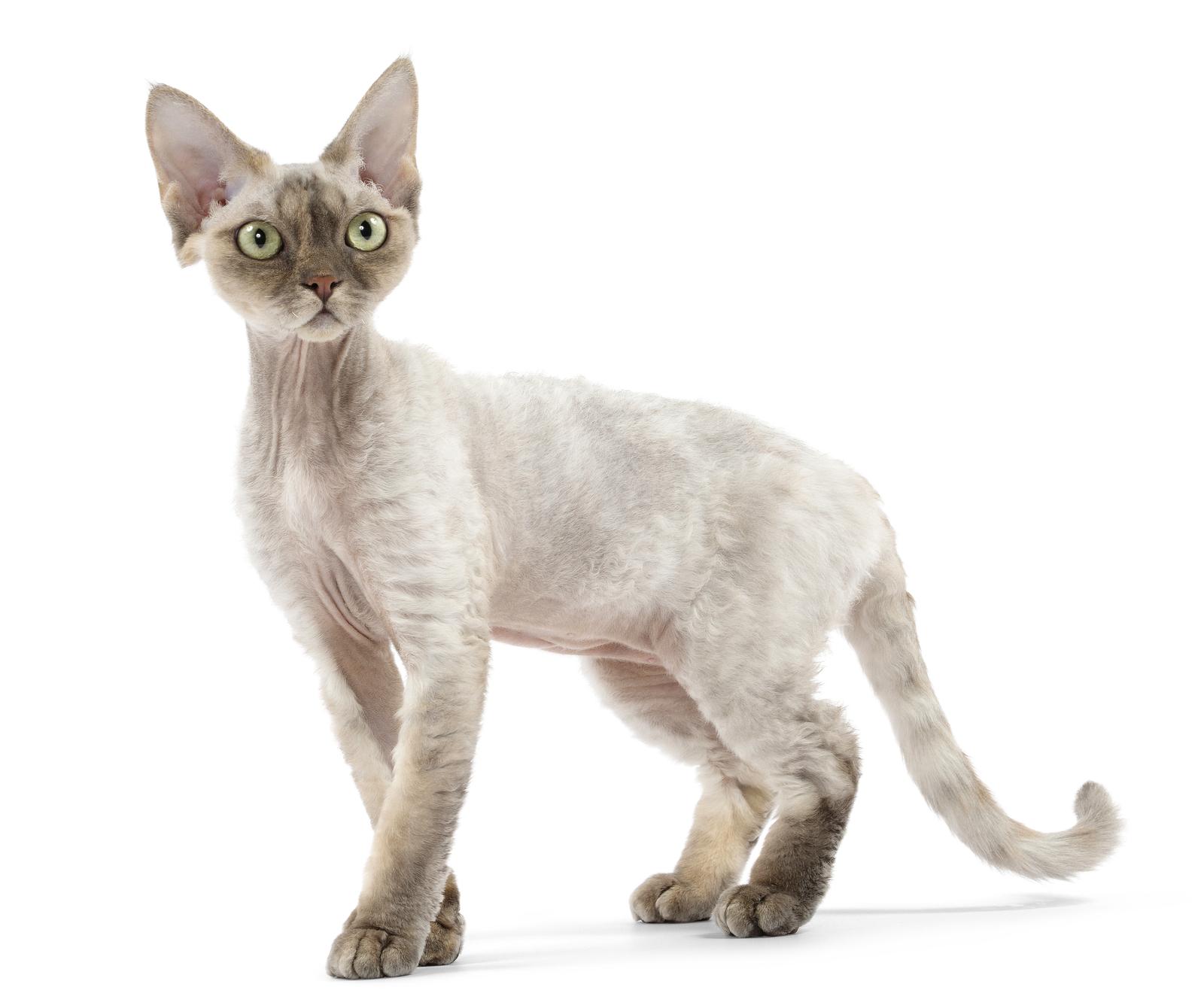 Devon Rex Cat: Devon Devon Rex Breed
