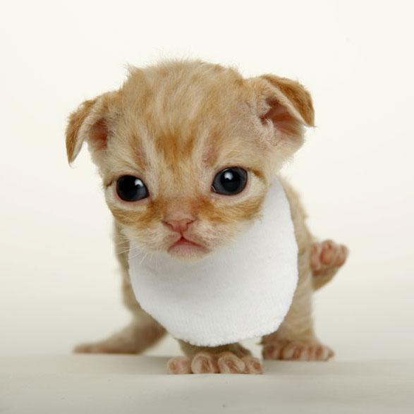 Devon Rex Cat: Devon Devon Rex Cat Breed Picture