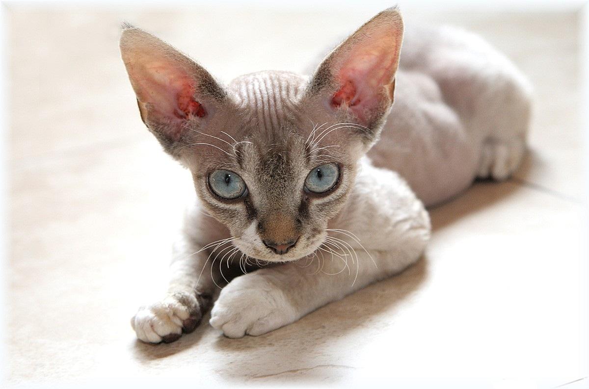 Devon Rex Cat: Devon Devon Rex Cat Breed