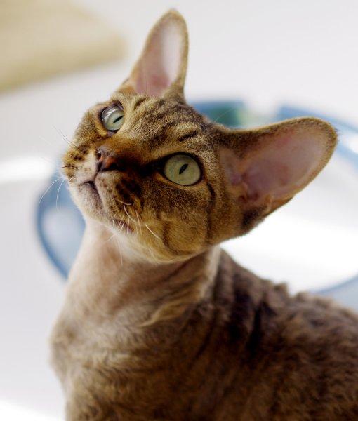 Devon Rex Cat: Devon Devon Rex Cat Facts Breed