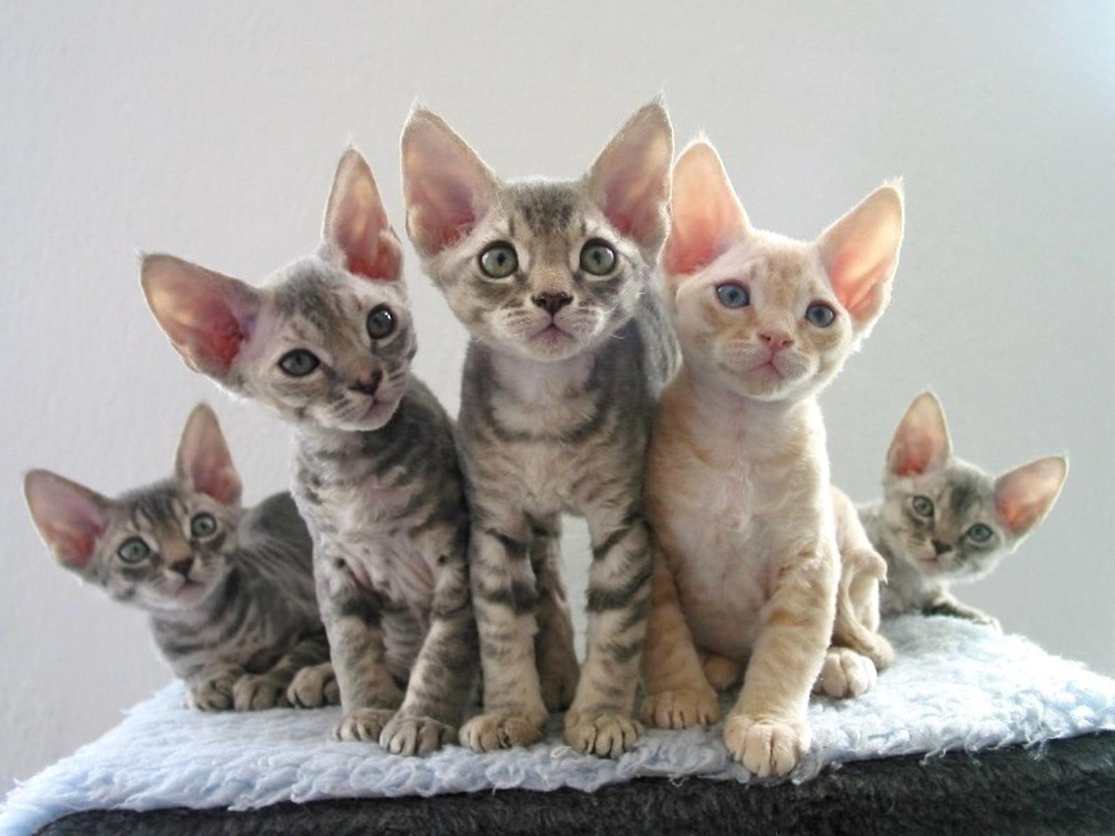 Devon Rex Kitten: Devon Devon Rex Cat Pictures Breed