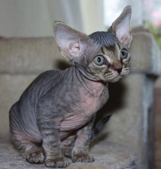 Devon Rex Kitten: Devon Devon Rex Cats Breed