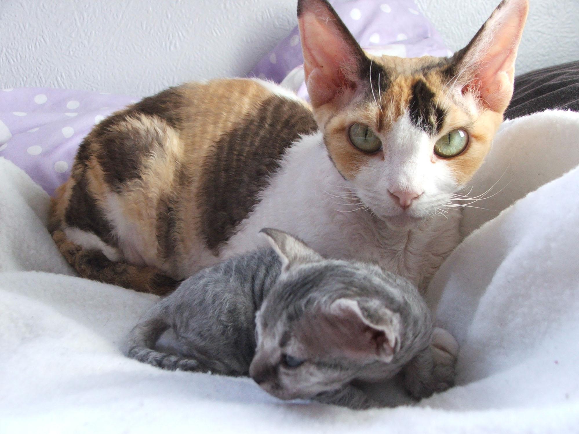 Devon Rex Cat: Devon Devonrex Breed