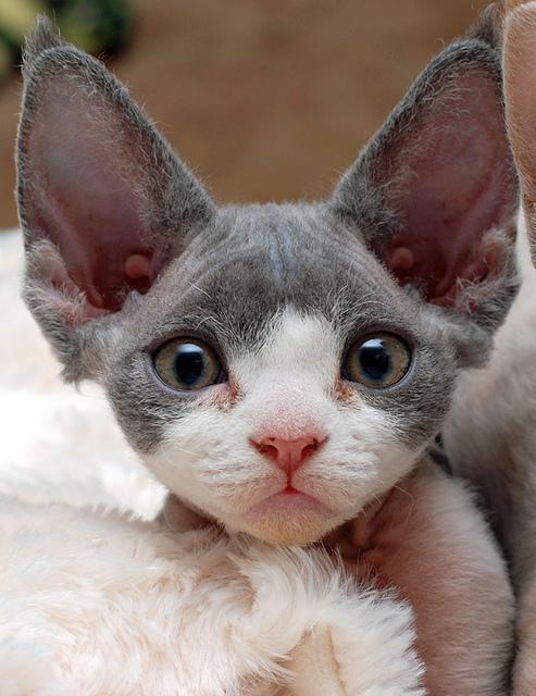 Devon Rex Kitten: Devon How Much Does Devon Rex Kitten Cost Breed