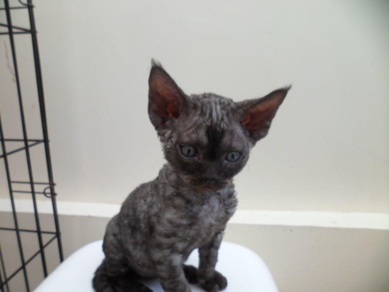 Devon Rex Kitten: Devon S Breed