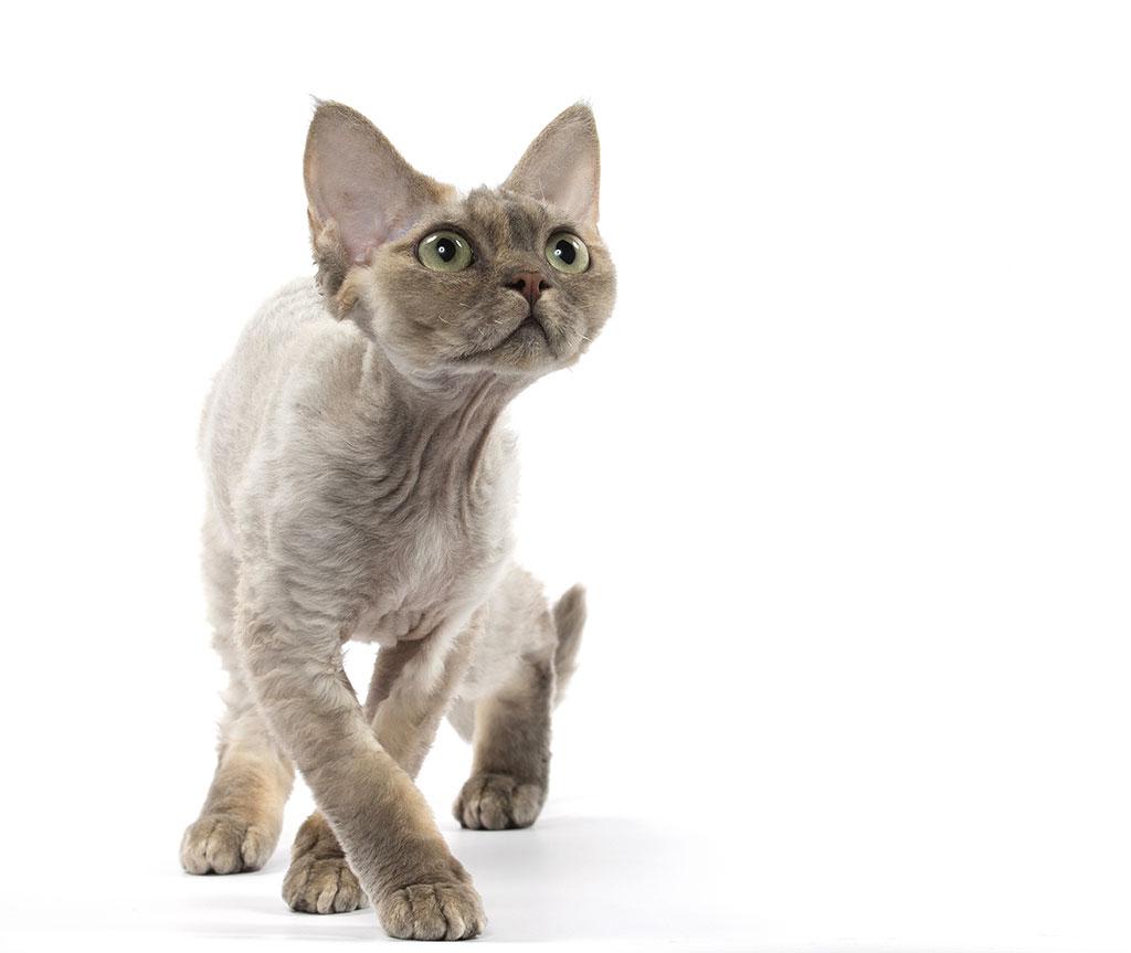 Devon Rex Cat: Devon Science Devon Rex Science Cat Best Cat This Is My Rad Cat Breed