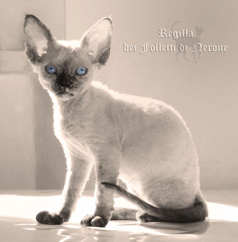 Devon Rex Kitten: Devon Search Breed
