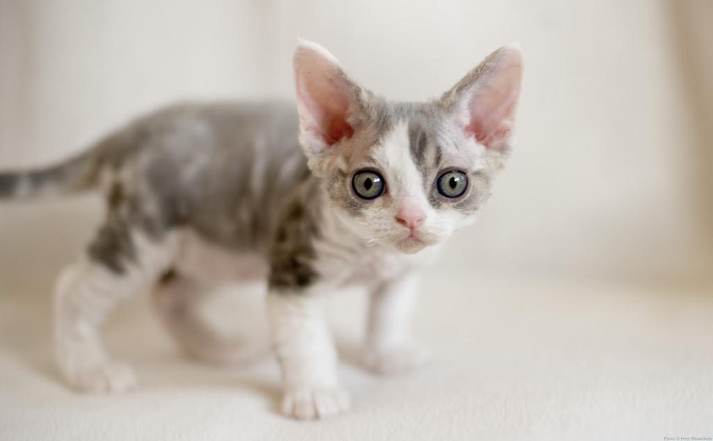 Devon Rex Kitten: Devon Very Cute Devon Rex Kitten S And Pictures Breed