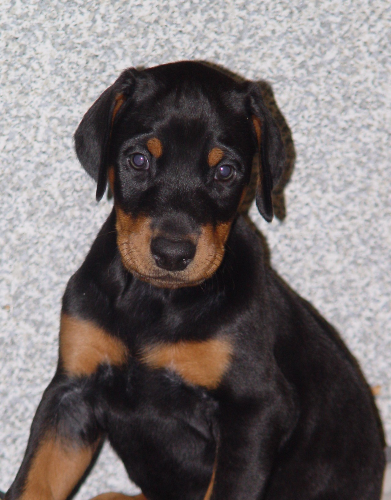 Doberman Pinscher Puppies: Doberman Ad Breed