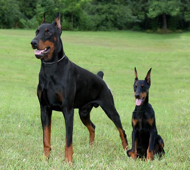 Doberman Pinscher Dog: Doberman Doberman Pinscher Dog Breed