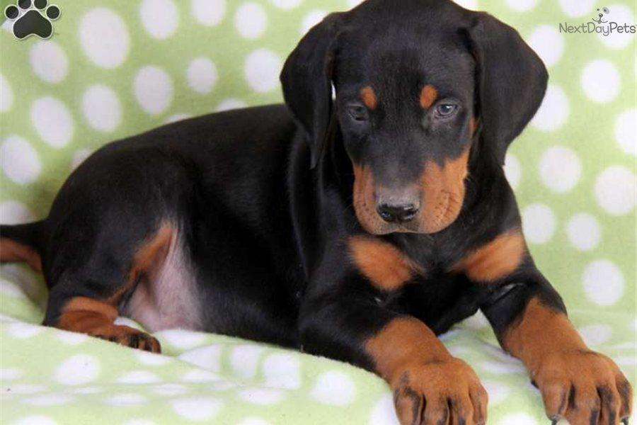 Doberman Pinscher Puppies: Doberman Doberman Pinscher Puppies Breed