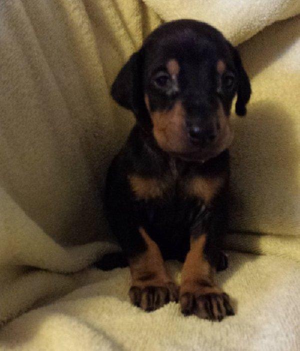 Doberman Pinscher Puppies: Doberman Doberman Pinscher Puppies For Sale Cyprus Breed