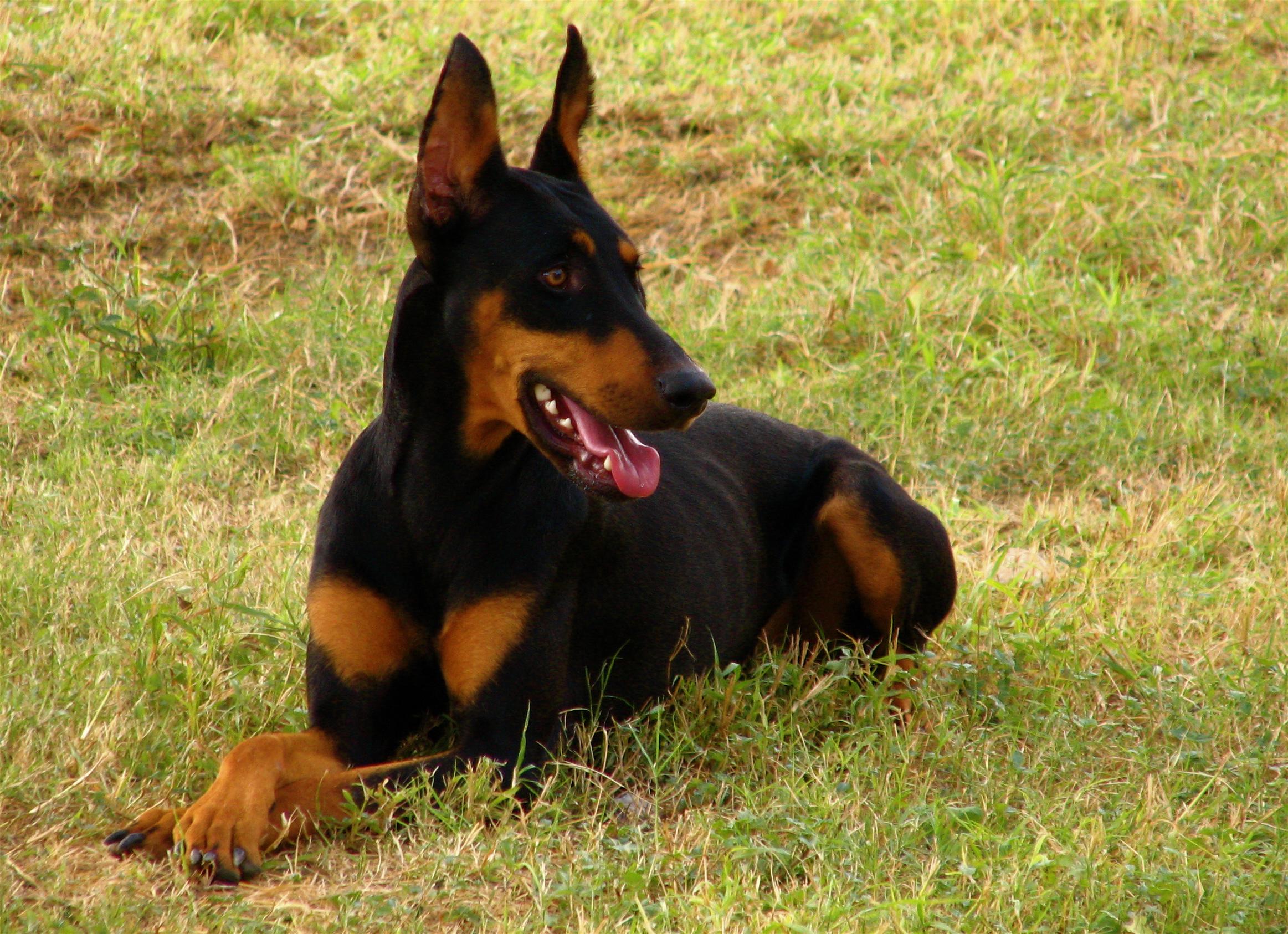 Doberman Pinscher Dog: Doberman Doberman Pinscher Temperament Breed
