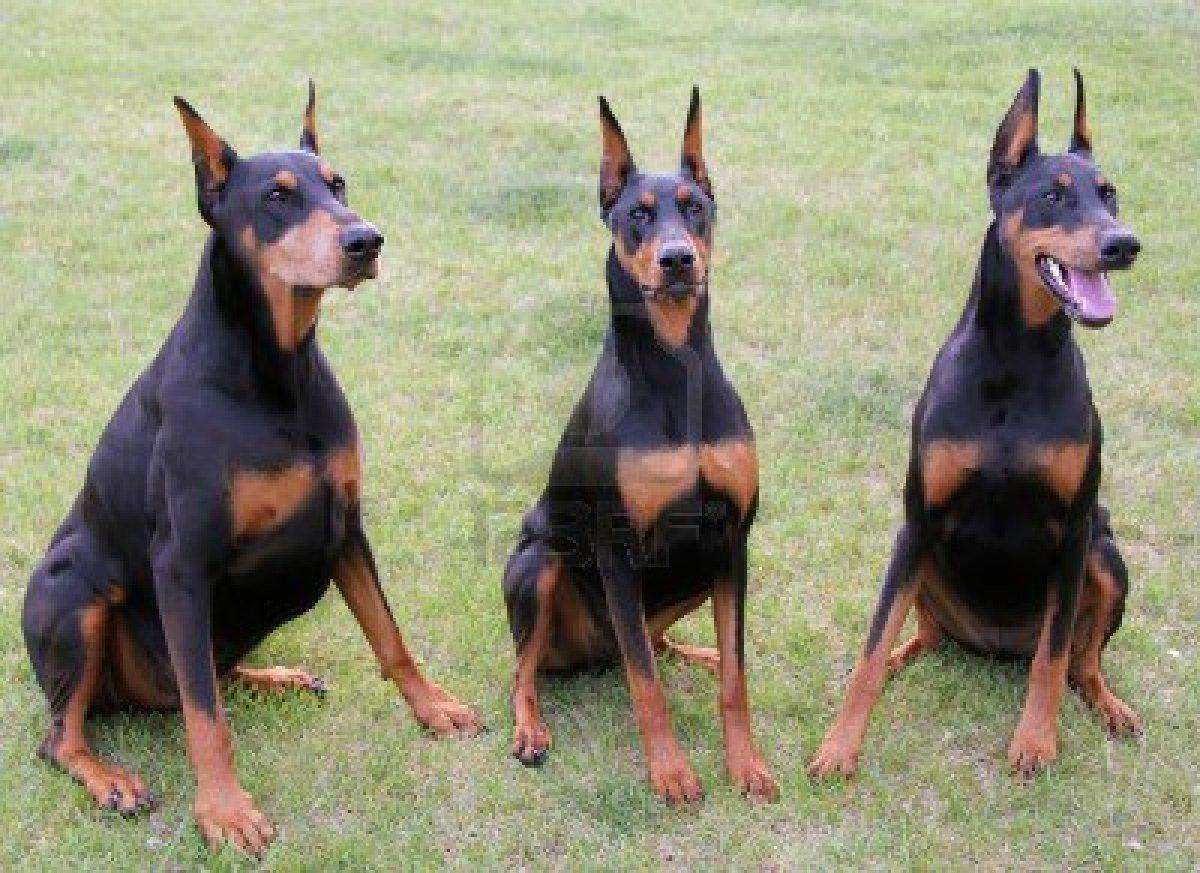 Doberman Pinscher Puppies: Doberman Dogs Breed
